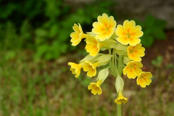 All you need to know about Evening Primrose Oil and its uses