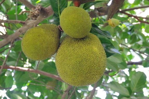 Why should you have breadfruit regularly?